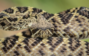 Eastern Diamondback Rattlesnake For Desktop