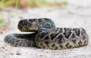 Eastern Diamondback Rattlesnake For Desktop Background