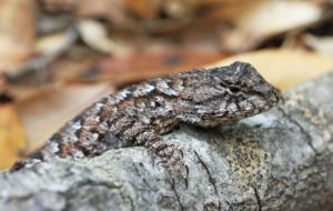 Eastern Fence Lizard HD Background