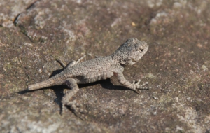 Eastern Fence Lizard HD Wallpaper