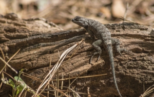 Eastern Fence Lizard High Definition