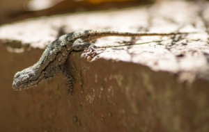 Eastern Fence Lizard Full HD