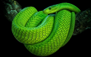 Eastern Green Mamba Background