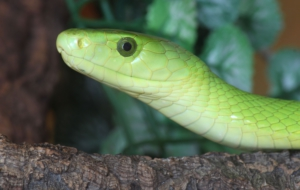 Eastern Green Mamba Computer Wallpaper