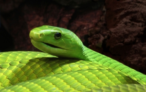 Eastern Green Mamba Desktop