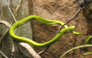 Eastern Green Mamba HD Desktop