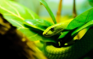Eastern Green Mamba Images