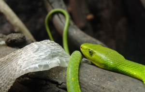 Eastern Green Mamba Wallpapers