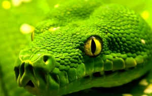 Eastern Green Mamba Wallpapers HQ