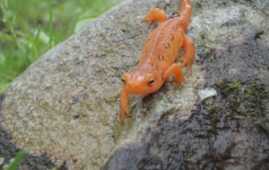 Eastern Newt Computer Backgrounds