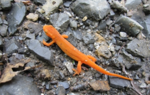 Eastern Newt For Desktop