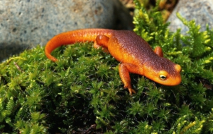 Eastern Newt For Desktop Background