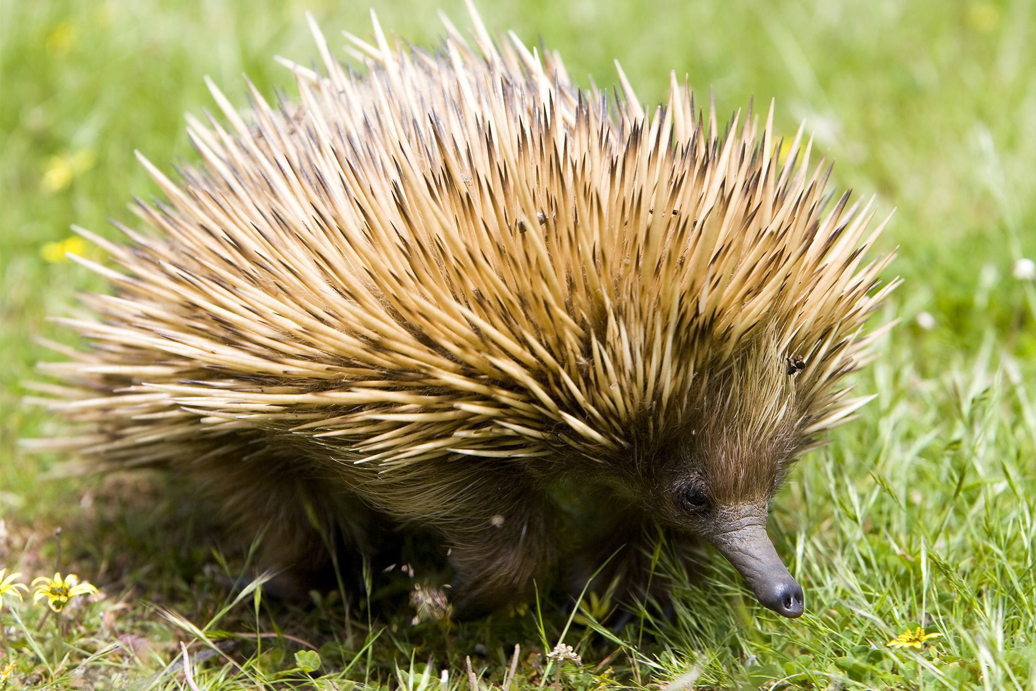 Echidna Wallpapers Backgrounds