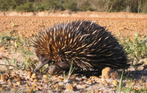 Echidna High Definition