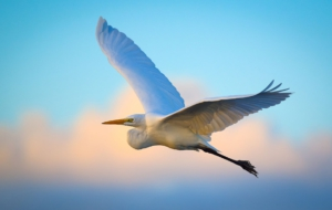 Egret HD Wallpaper