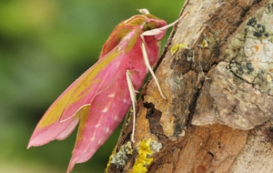 Elephant Hawk Moth 4K