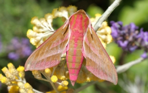 Elephant Hawk Moth Computer Wallpaper