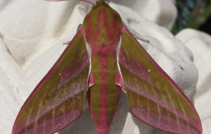 Elephant Hawk Moth Desktop Wallpaper