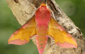 Elephant Hawk Moth Free HD Wallpapers