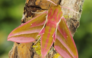 Elephant Hawk Moth HD