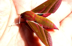 Elephant Hawk Moth High Definition Wallpapers