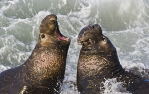 Elephant Seal Desktop Images