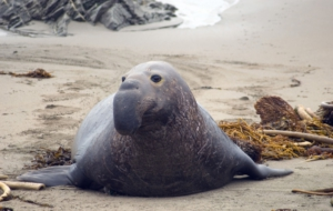Elephant Seal For Desktop