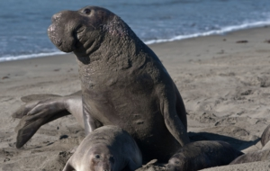 Elephant Seal Full HD
