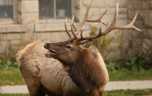 Elk Free Download