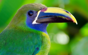 Emerald Toucanet High Definition Wallpapers