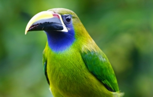 Emerald Toucanet For Desktop