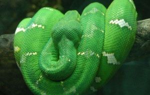 Emerald Tree Boa Computer Backgrounds