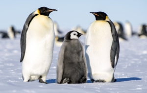 Emperor Penguin Computer Backgrounds