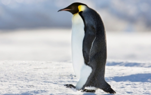 Emperor Penguin Download