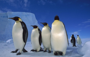 Emperor Penguin HD Background