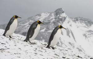 Emperor Penguin HD Desktop