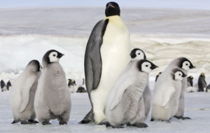 Emperor Penguin Wallpapers
