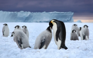 Emperor Penguin For Desktop