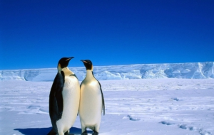 Emperor Penguin Full HD