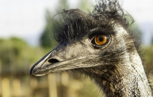 Emu Background