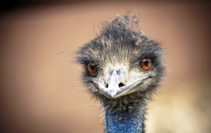 Emu Free Download