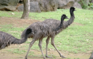 Emu Free HD Wallpapers