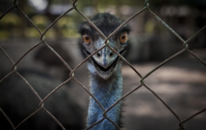 Emu Wallpaper For Windows