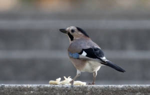 Eurasian Jay High Definition Wallpapers