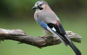 Eurasian Jay For Desktop