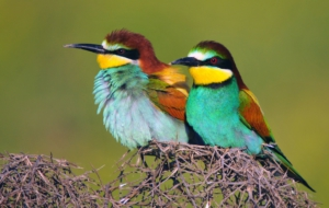 European Bee Eater Background