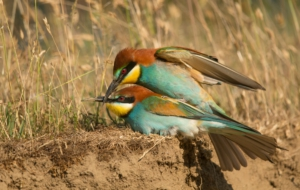 European Bee Eater Computer Backgrounds