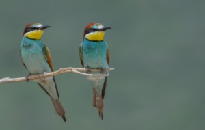 European Bee Eater Desktop