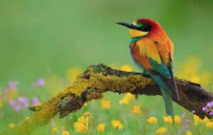 European Bee Eater HD
