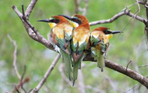 European Bee Eater HD Wallpaper